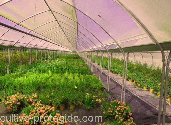 Cultivo protegido de flores en macrotúnel.