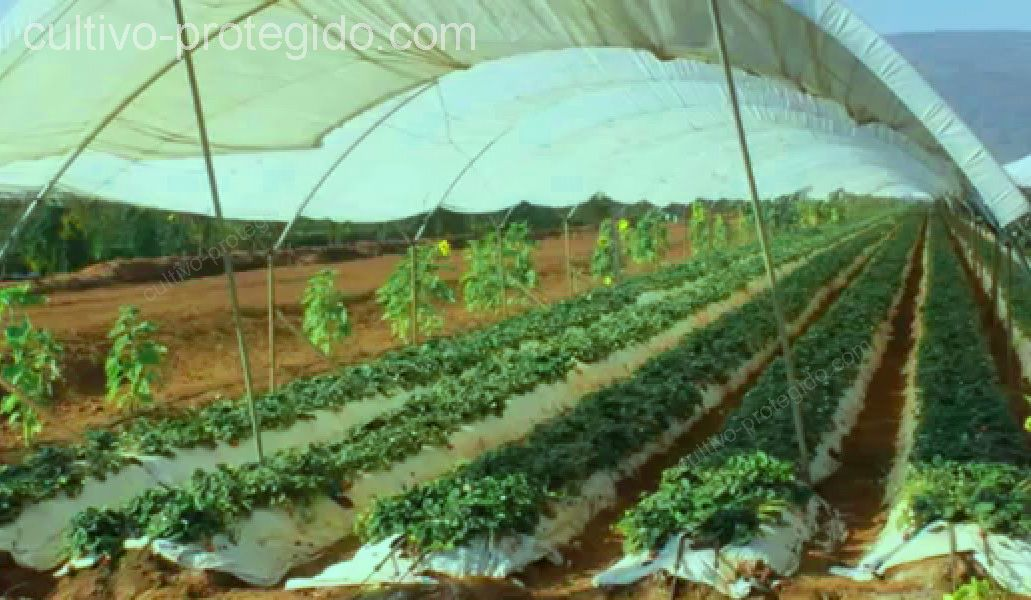 Para adaptar un cultivo rustico a uno protegido, se necesita la implementacion de un invernadero