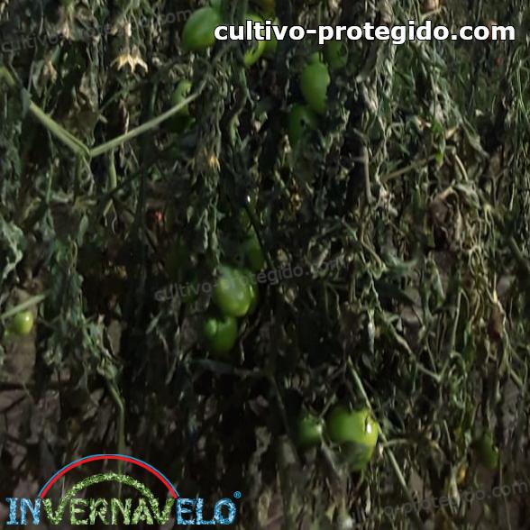 cultivos de tomates dañados por el clima