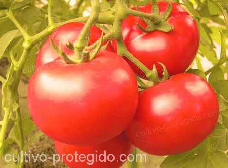 cultivo de tomates rojos.